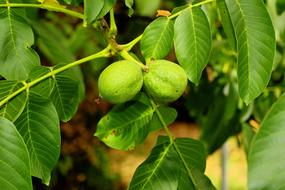 Walnut Tree Fruits
