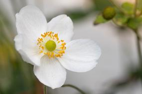 perfect Anemone White Flower