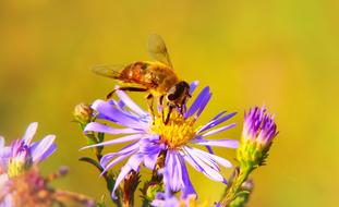 Apostate Resistant, flower fly on aster, macro