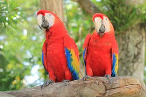 Parrot Scarlet Macaw red