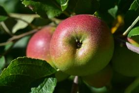 pink-green apples on a branch