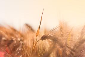 ripe Barley ears at Backlighting