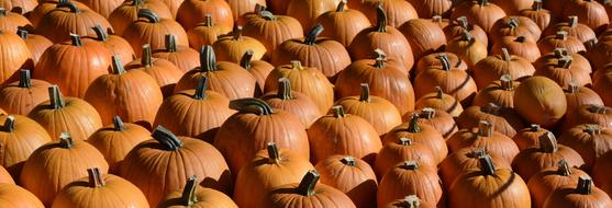 photo of a large crop of pumpkins