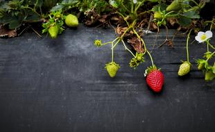 Strawberries Growth green red