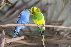 two Colorful Budgies kissing