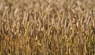 Macro photo of a wheat crop in an autumn field