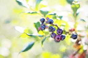 unripe blueberries on a bush