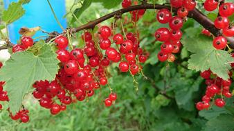 Currant Berry red