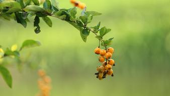 yellow sea-buckthorn berries on a branch on a background of green grass
