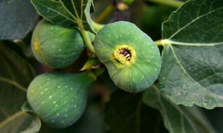 perfect Figs Green Fruit