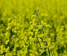 field of rapeseed for oil production