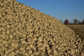 sugar beet harvest on the field