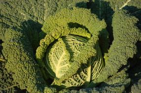 perfect Garden Winter Cabbage