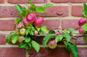 Apple Espalier Fruit and wall