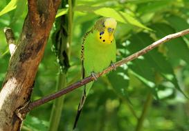 Budgie, green and yellow Bird perched branch