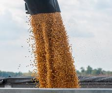 corn is poured from combine into the bunker