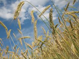 dry Cereals Wheat Agriculture