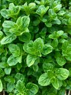 green oregano in the greenhouse