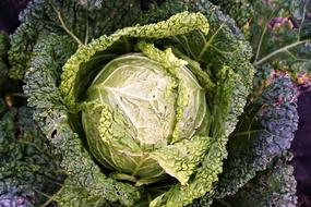 colorful Savoy cabbage, top view of plant