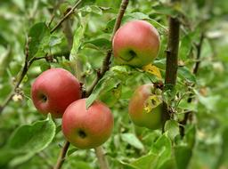 red Apples Fruit tree