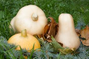 white and yellow pumpkins on spruce branches
