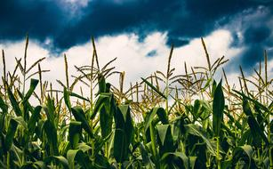 Crops Corn Agriculture green blue sky