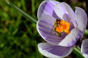 Crocus and Bee Collect