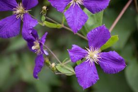 blue violet Clematis Flowers