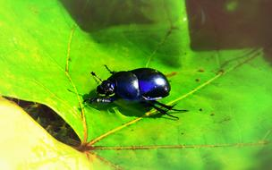 Forest Beetle Insect black