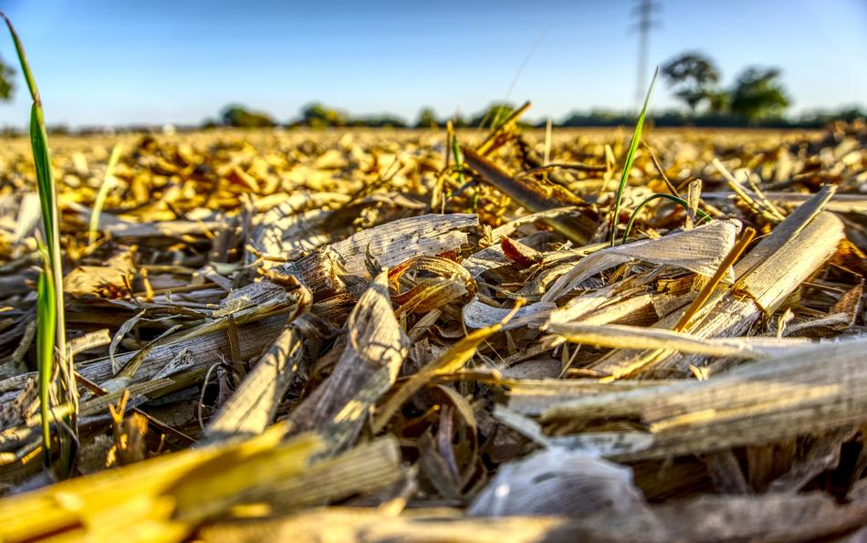 harvested corn field in autumn