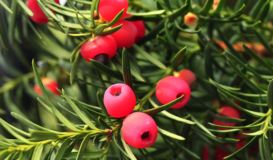 red fruits of a yew on green branches