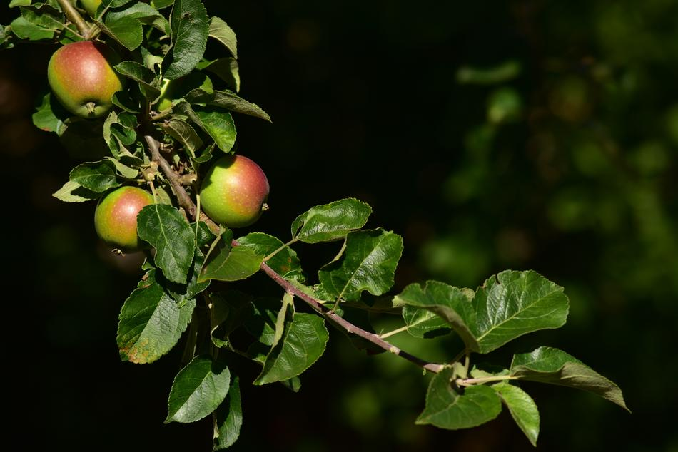 Apple Tree Branch green
