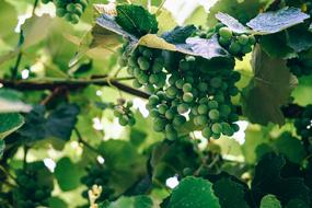 photo of delicious green grapes on a branch