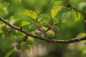 green plums on a branch