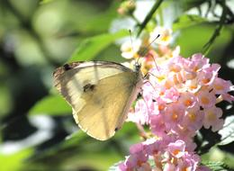 White Butterfly feeding on pink flowers