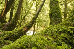 Mossy trees in spruce Forest