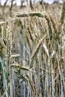 Cereals Wheat Barley dry