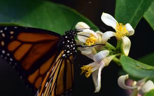 Monarch Wing white flower