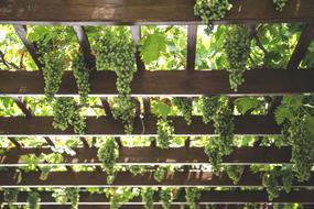 Grapes Hang Vineyard green