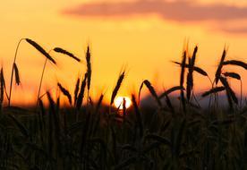 spikelets of wheat on the background of yellow sunset