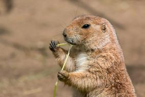 cute small prairie dog eat