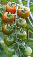 photo of green tomatoes on a branch in the garden