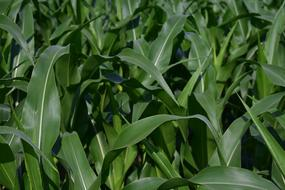 Corn Plant green Leaves