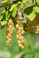 Currants White