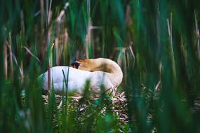 nesting swan in the thickets