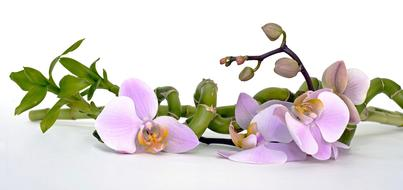 Orchid Flower and Bamboo Luck
