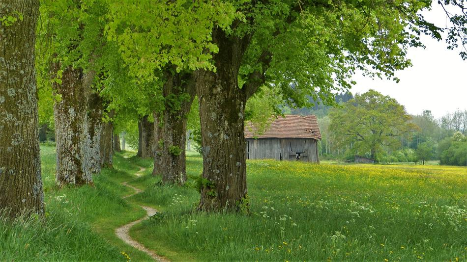 linden trees in countryside