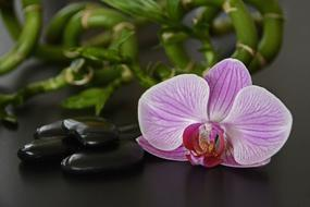Black Stones, Orchid and luck bamboo