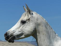 head of Pure Blood Arabian horse at sky