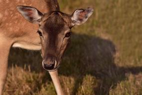 doe of Fallow Deer, head close up